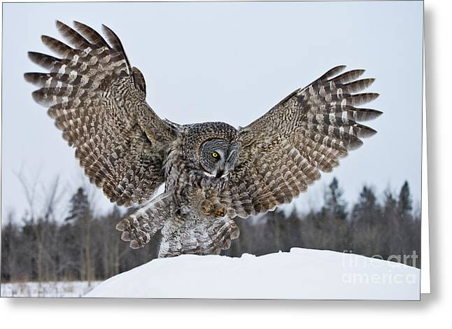 Animal Pics Greeting Cards - Great Gray Owl Landing Greeting Card by Michael Cummings