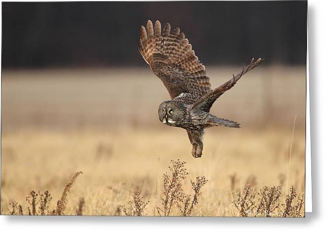 Great Birds Pyrography Greeting Cards - Great Gray owl liftoff Greeting Card by Daniel Behm
