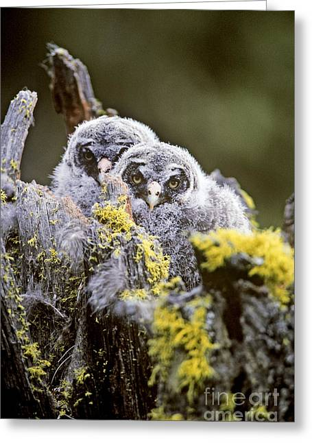 Great Gray Owl Owlets Greeting Card by Art Wolfe