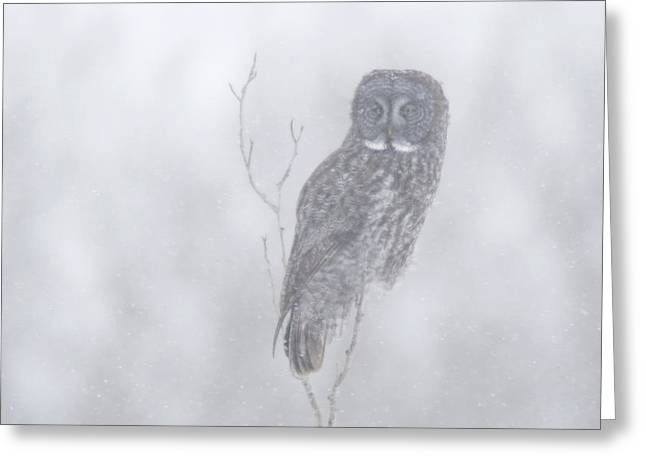 Winter Storm Greeting Cards - Great Gray Owl Strix Nebulosa In Greeting Card by Rebecca Grambo