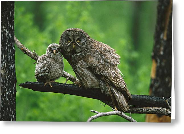 Strigidae Greeting Cards - Great Gray Owl With Chick Saskatchewan Greeting Card by Tom Vezo