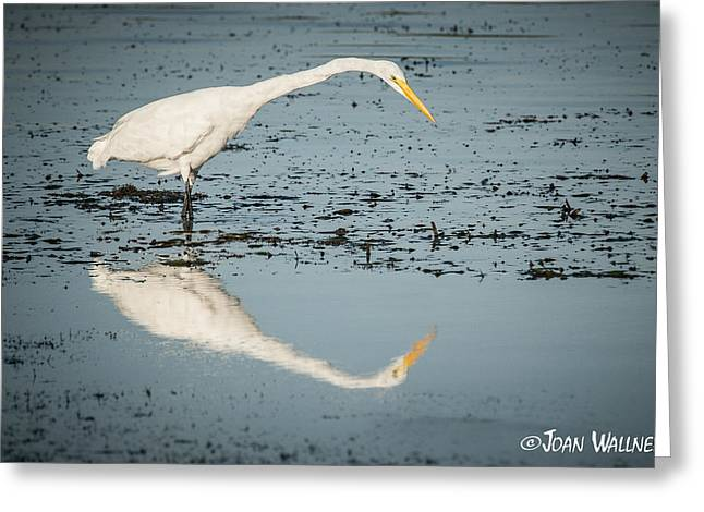 Englewood Greeting Cards - Great Egret Reflection Greeting Card by Joan Wallner