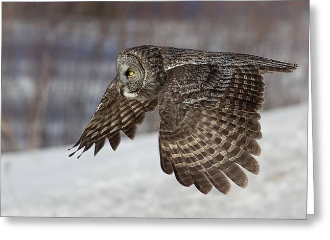 The North Greeting Cards - Great Grey Owl in Flight Greeting Card by Jakub Sisak