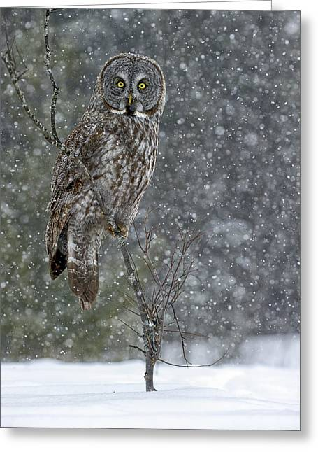 Wildlife Pics Greeting Cards - Great Grey Owl Pictures 15 Greeting Card by Owl Images