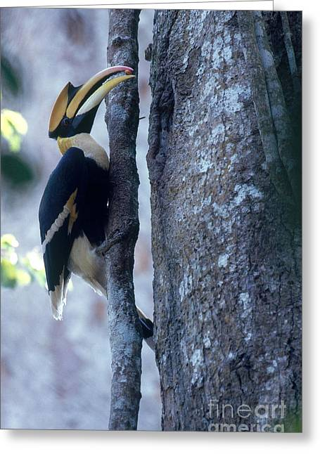 Great Hornbill Greeting Card by Art Wolfe