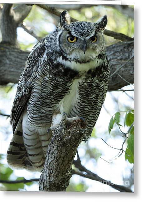 Predator Bird Greeting Cards - Great Horned Owl 1 Greeting Card by Bob Christopher