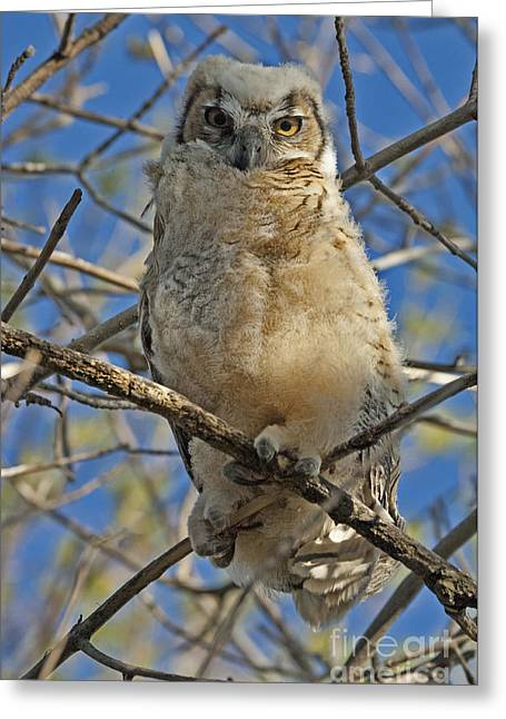 Predator Bird Greeting Cards - Great Horned Owl 2 Greeting Card by Bob Christopher