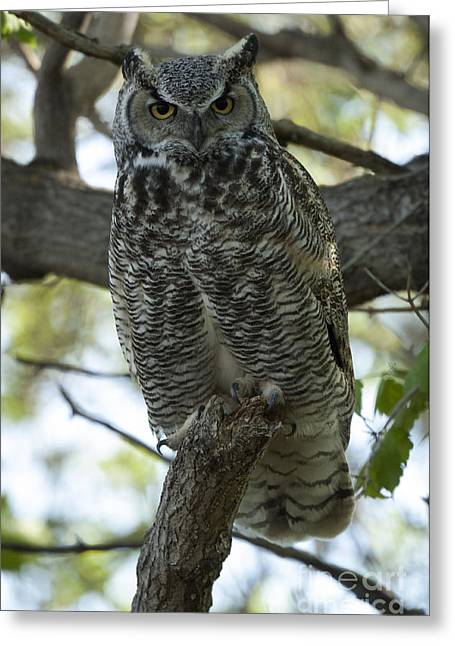 Predator Bird Greeting Cards - Great Horned Owl 3 Greeting Card by Bob Christopher