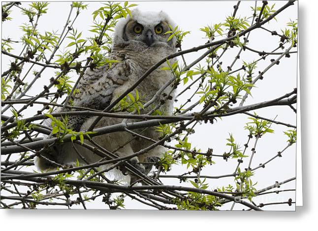 Predator Bird Greeting Cards - Great Horned Owl 4 Greeting Card by Bob Christopher