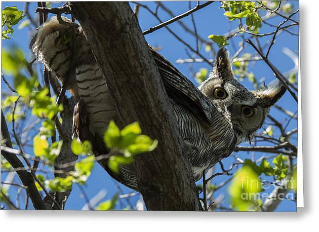 Predator Bird Greeting Cards - Great Horned Owl 5 Greeting Card by Bob Christopher