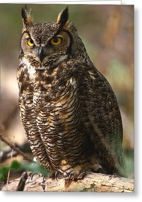 Usa Photographs Greeting Cards - Great Horned Owl Greeting Card by Don Baccus