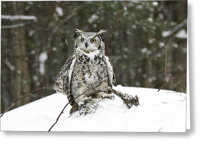 Great Horned Owl In A Winter Snow Storm Greeting Card by Inspired Nature Photography Fine Art Photography