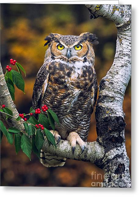 Photos Of Autumn Greeting Cards - Great Horned Owl Greeting Card by Todd Bielby