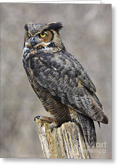 Shelley Myke Greeting Cards - Great Horned Owl Watch Greeting Card by Inspired Nature Photography By Shelley Myke