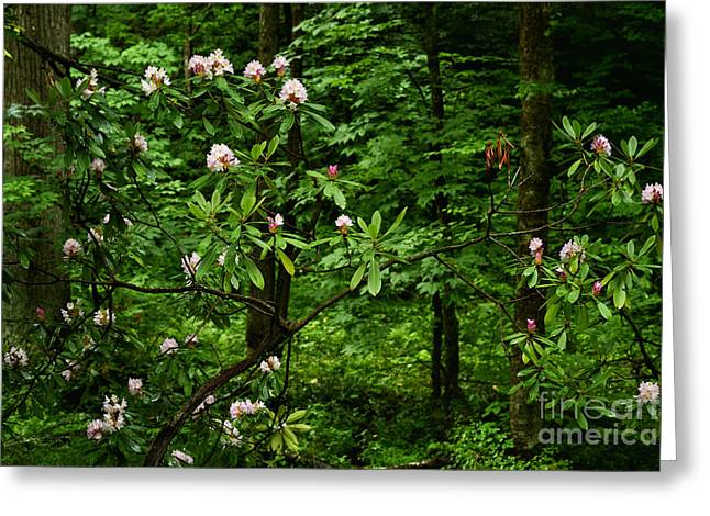 Rhododendron Maximum Greeting Cards - Great Laurel in Bloom Greeting Card by Thomas R Fletcher