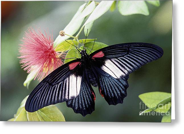 Buterfly Greeting Cards - Great Mormon and Mimosa - FS000581 Greeting Card by Daniel Dempster