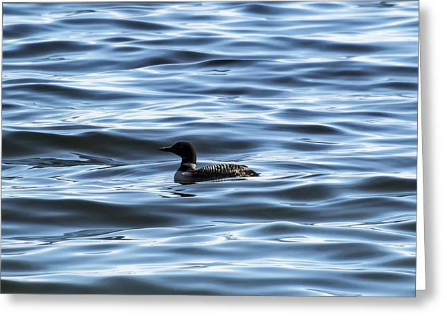 Great Northern Loon Greeting Card by Matt Molloy