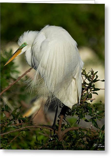 Water Bird Greeting Cards - Great Egret Takes a Stance Greeting Card by Patricia Twardzik