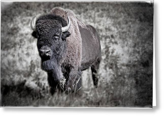 Wainwright Greeting Cards - Great Plains Bison Greeting Card by Peter J Coyle