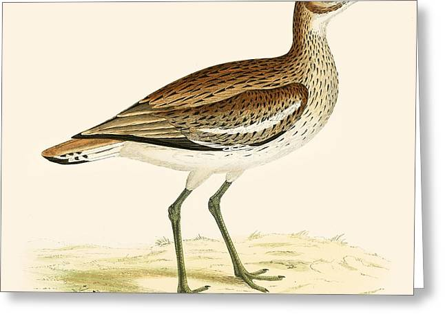 Hunting Bird Photographs Greeting Cards - Great Plover Greeting Card by Beverley R. Morris