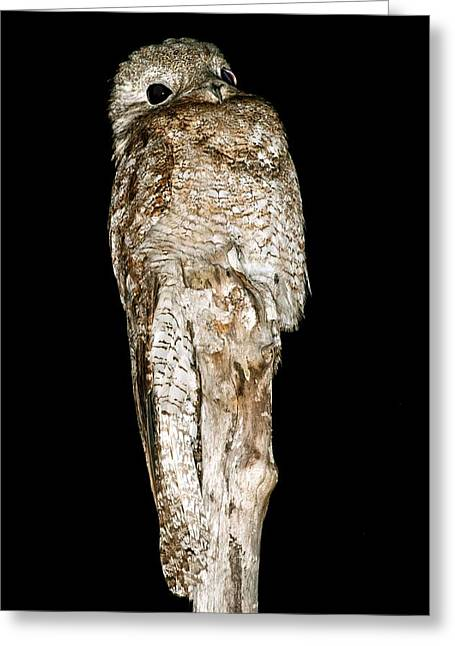 Nightjars Greeting Cards - Great potoo on a post at night Greeting Card by Science Photo Library