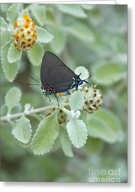 Arizona Wildlife Greeting Cards - Great Purple Hair Streak Butterfly Greeting Card by Richard and Ellen Thane