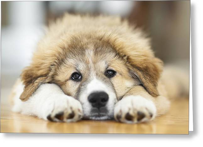 Hardwood Flooring Greeting Cards - Great Pyrenees Puppy Lying Down Greeting Card by Ken Gillespie