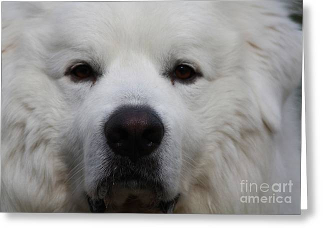 Staring Into Camera Greeting Cards - Great Pyrnesse Portrait Greeting Card by John Telfer