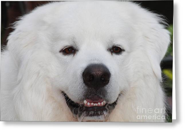 Canon Rebel Greeting Cards - Great Pyrnesse Smiling Greeting Card by John Telfer