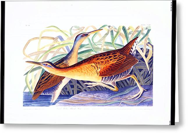 Metal Prints Drawings Greeting Cards - Great Red breasted Rail Greeting Card by Celestial Images