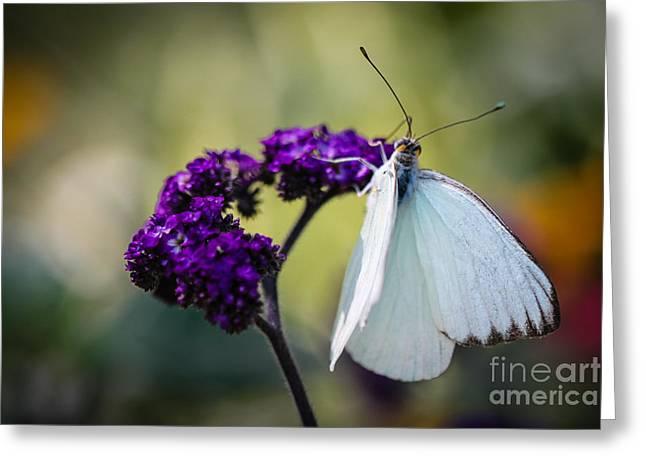 Eating Entomology Greeting Cards - Great Southern White Ascia Monuste Greeting Card by Henrik Lehnerer