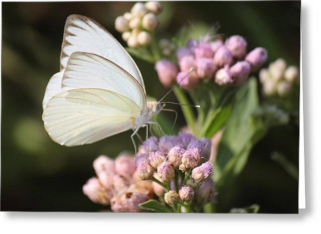 Original Photographs Greeting Cards - Great Southern White Butterfly On Pink Flowers Greeting Card by Roena King