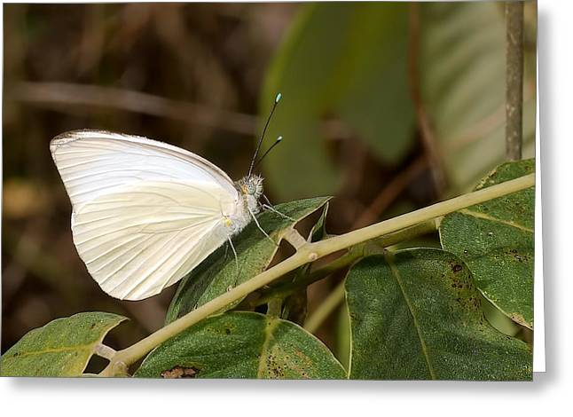 Creature Eating Greeting Cards - Great Southern White Butterfly Greeting Card by Rudy Umans