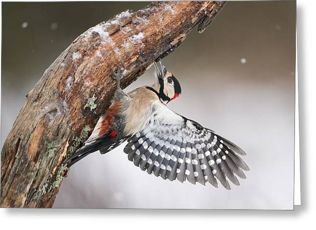Great Spotted Woodpecker Male Sweden Greeting Card by Franka Slothouber