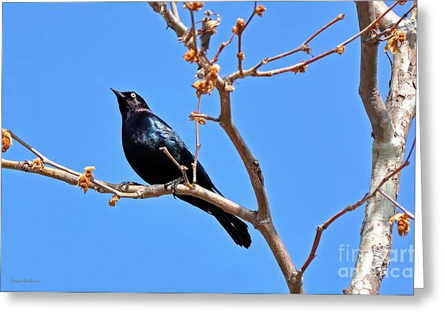 Susan Wiedmann Greeting Cards - Great-Tailed Grackle on a Sunny Spring Day Greeting Card by Susan Wiedmann