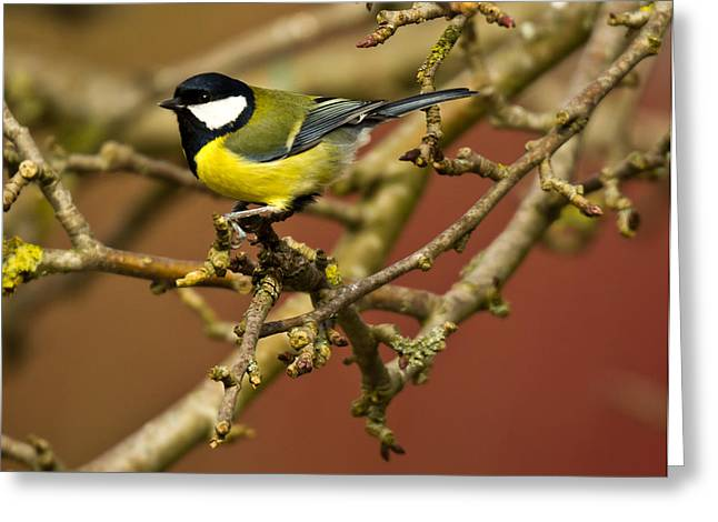 Great Birds Greeting Cards - Great Tit Greeting Card by Chris Whittle