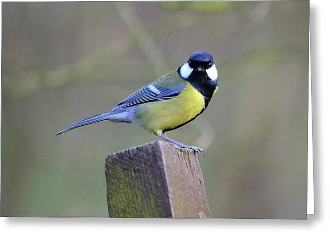 Great Birds Pyrography Greeting Cards - Great Tit Greeting Card by Jason Moss