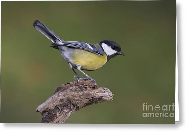 Great Birds Pyrography Greeting Cards - Great Tit  Greeting Card by Maurizio Bacciarini