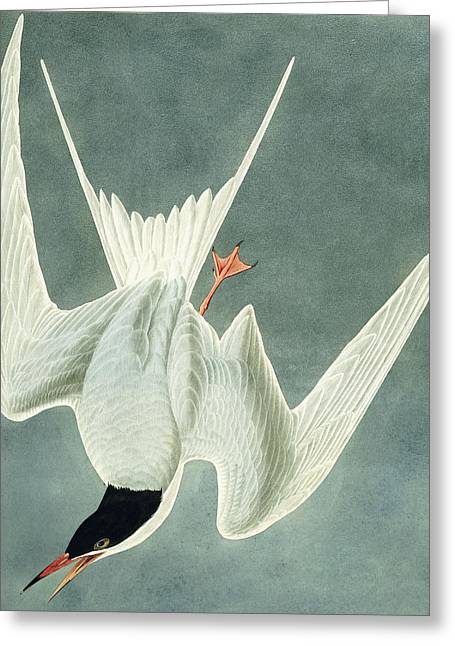 Flying Drawings Greeting Cards - Great Turn Greeting Card by John James Audubon