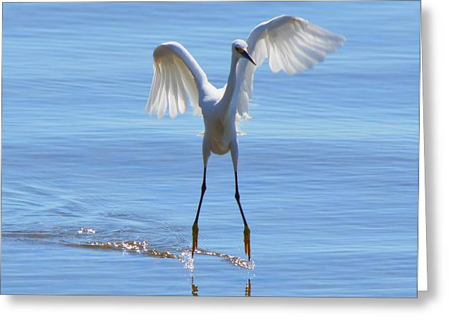 Water Bird Greeting Cards - Great White a Flapping Greeting Card by Patricia Twardzik