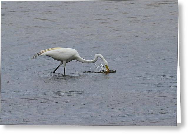 Water Fowl Greeting Cards - Great White Egret 14 Greeting Card by Cathy Lindsey