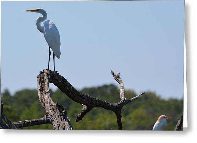 Ruth Housley Greeting Cards - Great White Egret and Friend Greeting Card by Ruth  Housley