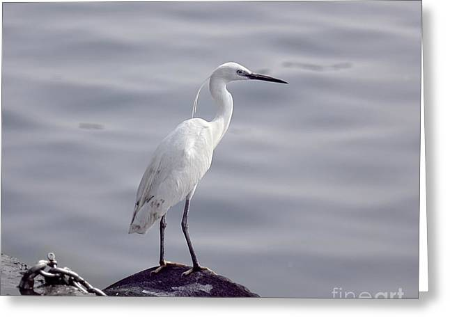 Hunting Bird Greeting Cards - Great White Egret Bird Looking for Fish Greeting Card by Yali Shi