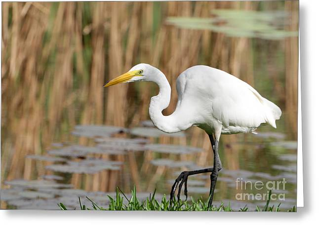 Great White Egret Greeting Cards - Great White Egret by the River Greeting Card by Sabrina L Ryan