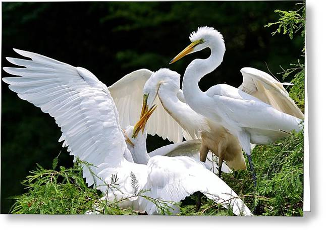 Great White Egret Feeding Time Greeting Card by Paulette Thomas