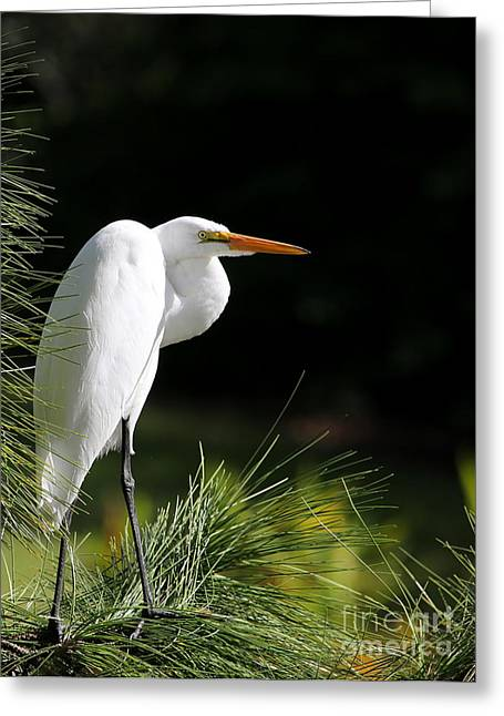 Wakodahatchee Greeting Cards - Great White Egret in the Tree Greeting Card by Sabrina L Ryan