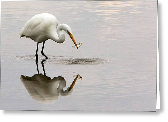 Wadingbird Greeting Cards - Great White Egret Greeting Card by Linda Shannon Morgan