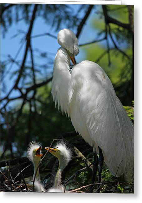 Chick Photographs Greeting Cards - Great White Egret Mom and Chicks - Hey Hungry Chicks Down Here Greeting Card by Suzanne Gaff