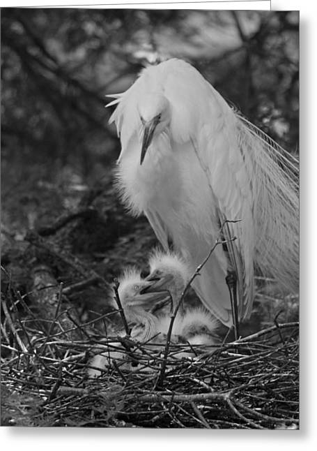 Chick Photographs Greeting Cards - Great White Egret Mom and Chicks III in Black and White Greeting Card by Suzanne Gaff
