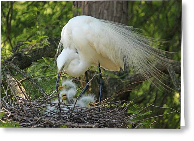 Chick Photographs Greeting Cards - Great White Egret Mom and Chicks III Greeting Card by Suzanne Gaff